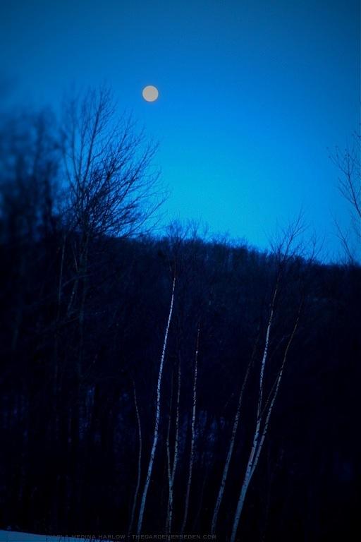 Sap Moon Rising ⓒ 2013 michaela medina harlow - thegardenerseden.com