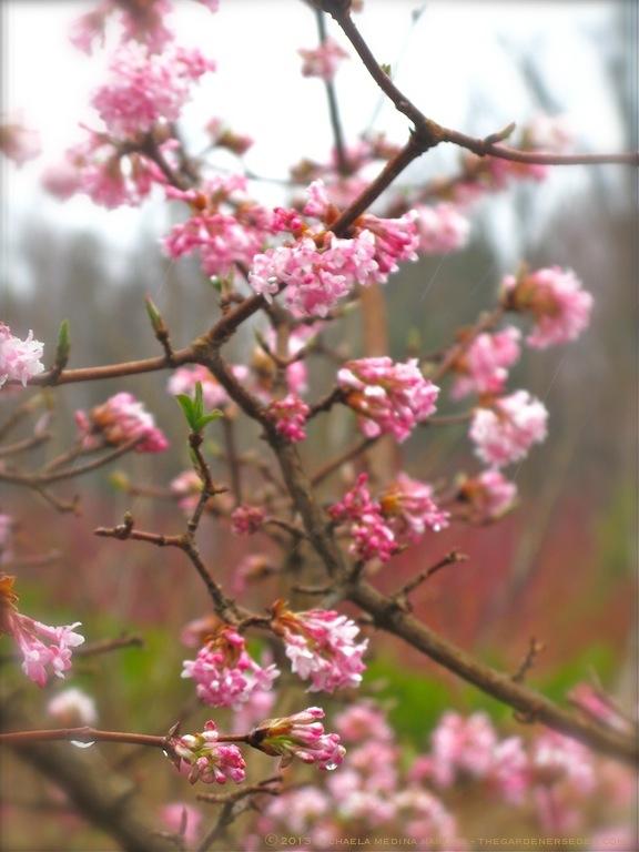 Bodnant Viburnum (V. bondnantense 'Dawn') in Bloom ⓒ 2013 Michaela Medina Harlow - thegardenerseden