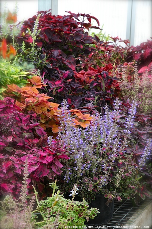 Colorful Coleus at Walker Farm ⓒ 2013 michaela medina harlow - thegardenerseden