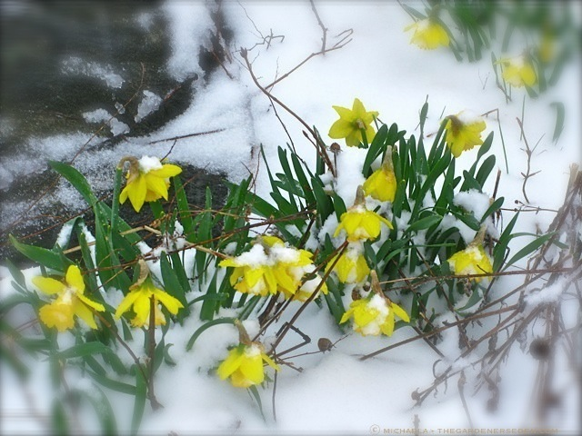 Daffodil Blossoms in Snow ⓒ-michaela-thegardenerseden