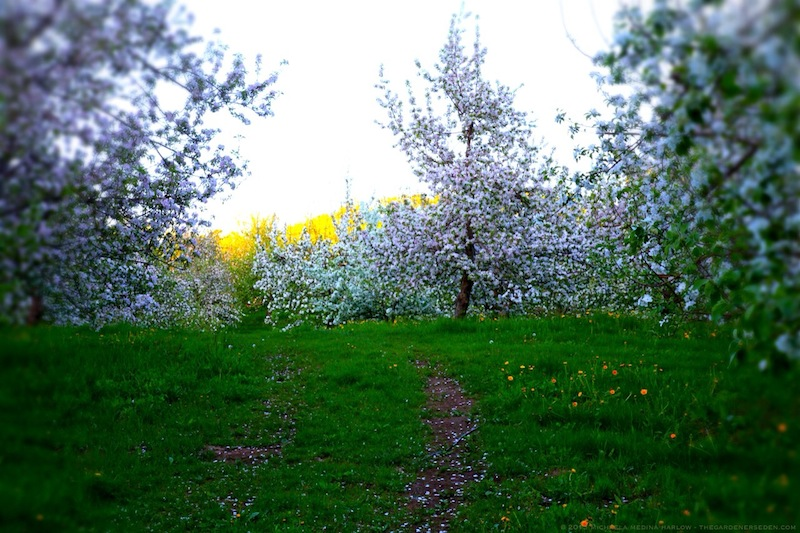 Apple_Blossom_Petal_Strewn_Pathways_Through_Scott_Farm_Orchard_michaela_medina_harlow_thegardenerseden.com