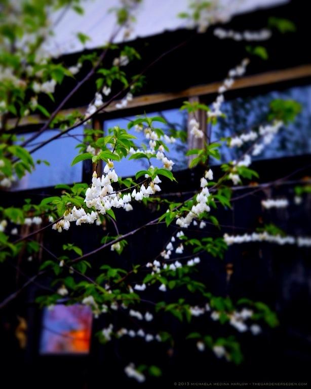 Halesia_tetraptera_Blossoms_Upon_a_Rainy_Evening_Michaela_Medina_Harlow_thegardenerseden.com