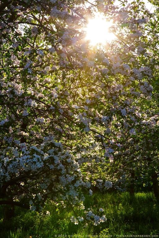 Sunlit_Heirloom_Apple_Blossoms_Scott_Farm_Vermont_michaela_medina_harlow_thegardenerseden.com