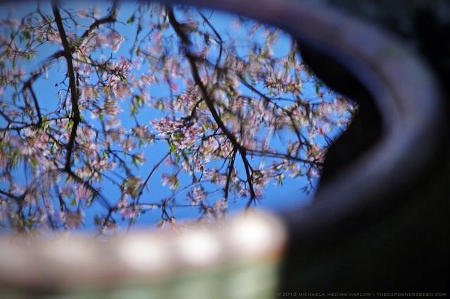 Viburnum_x_bodnantense_Dawn_Blossom_Reflection_michaela_medina_harlow_thegardenerseden.com