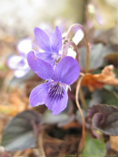 Viola-labradorica-ⓒ-michaela-thegardenerseden