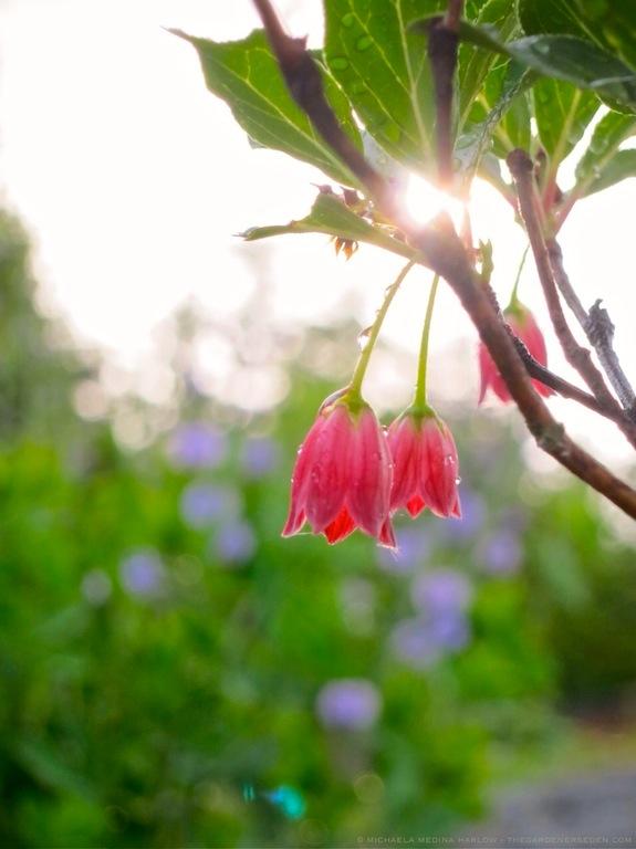 Enkianthus_ campanulatas_Red_Bells_michaela_medina_harlow_thegardenerseden.com