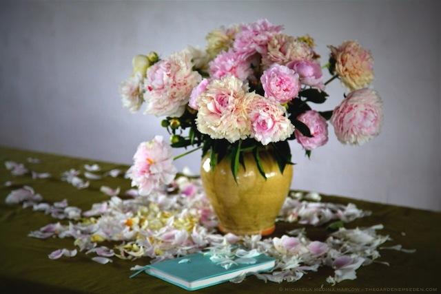 Falling Peony Petals (Paeonia lactiflora 'Sarah Bernhardt') michaela medina harlow - thegardenerseden. .com