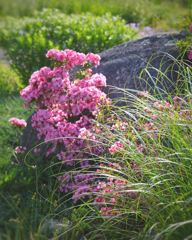 Mountain Laurel (Kalmia latifolia), Maiden Grass (Miscanthus sinensis) and Amsonia (Amsonia illustris) in Morning Light - michaela medina harlow - thegardenerseden.com