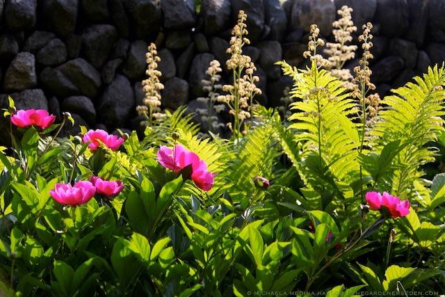 Paeonia lactiflora 'Le Charme', Rodgersia aesculifolia, Matteuccia struthiopteris in the Secret Garden - michaela medina harlow - thegardenerseden.com