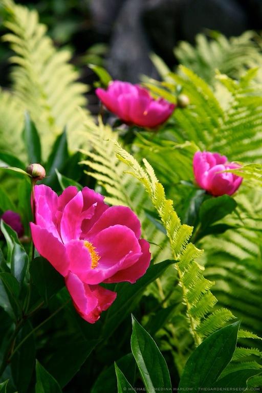 Paeonia lactiflora 'Le Charme' and Ostrich Fern (Matteuccia struthiopteris) - michaela medina harlow - thegardenerseden.com