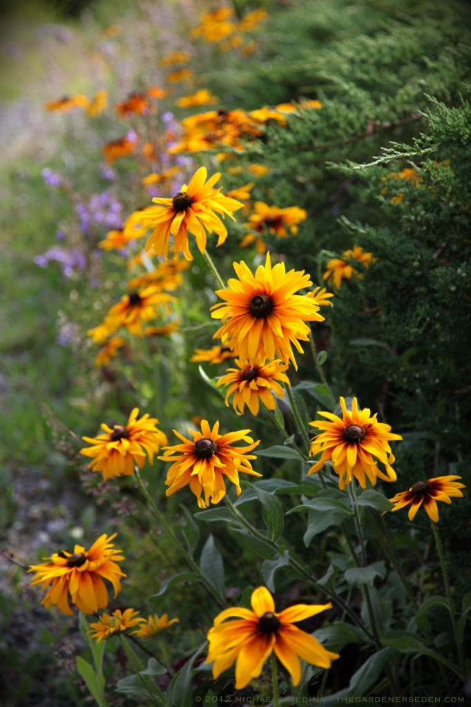 Rudbeckia hirta along the wildflower walk - michaela medina harlow - thegardenerseden.com