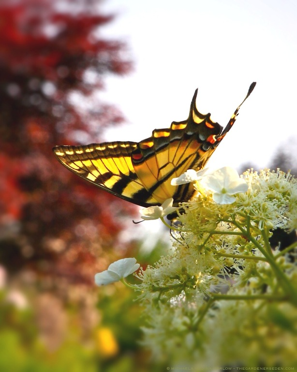 Swallowtail Butterfly on Hydrangea anomala ssp petiolaris - michaela medina harlow - thegardenerseden.com