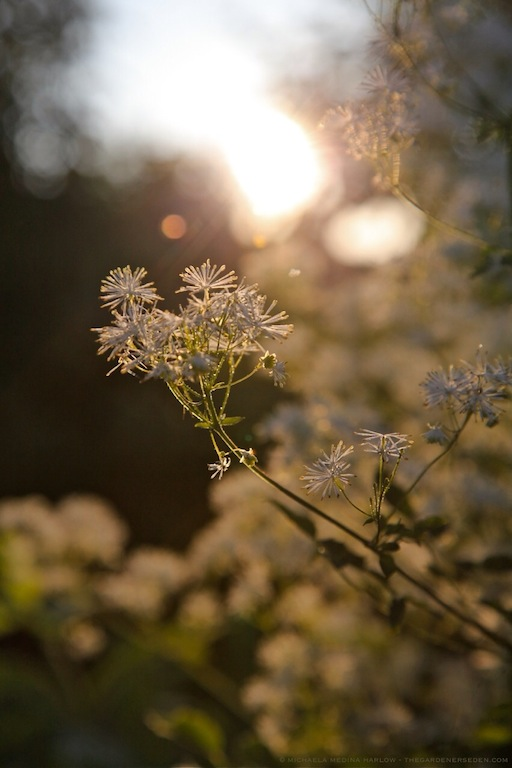 Thalictrum pubescens - Tall Meadow Rue - michaela medina harlow - thegardenerseden.com