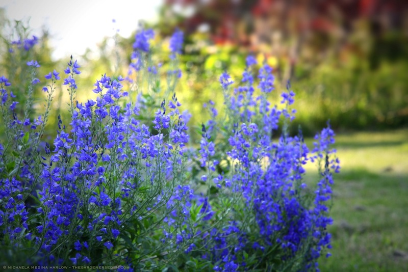 Veronica_austriaca subsp. teucrium_'Crater_Lake_Blue'_michaela_medina_harlow_thegardenerseden.com