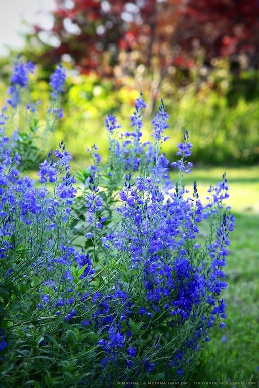 Veronica_austriaca subsp. teucrium_'Crater_Lake_Blue'_(vertical)_michaela_medina_harlow_thegardenerseden.com