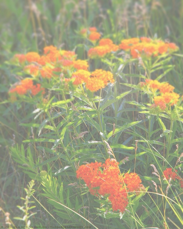 Asclepias tuberosa - Butterflyweed in the Meadow - michaela medina harlow - thegardenerseden.com