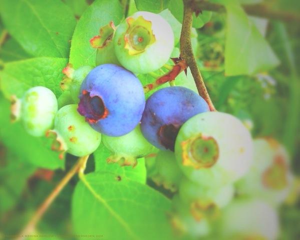 Blueberries at Last - michaela medina harlow - thegardenerseden.com
