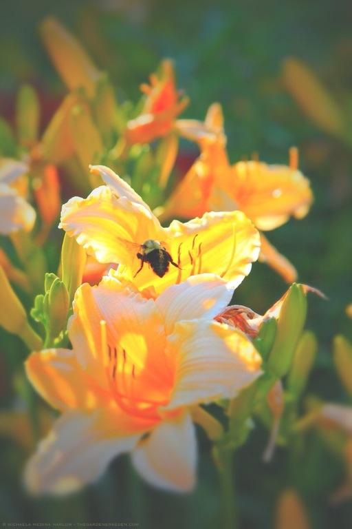 Bumblebee in Daylily - michaela medina harlow - thegardenerseden.com