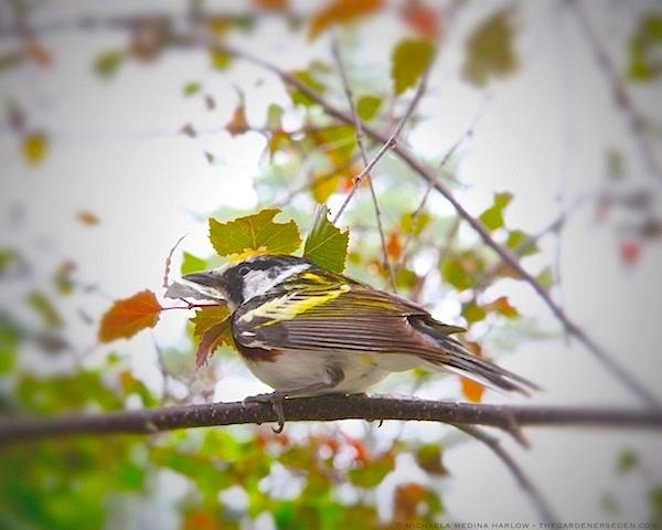 Chestnut Sided Warbler - michaela medina harlow - thegardenerseden.com