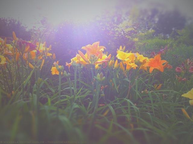 Daylilies in July - michaela medina harlow - thegardenerseden.com