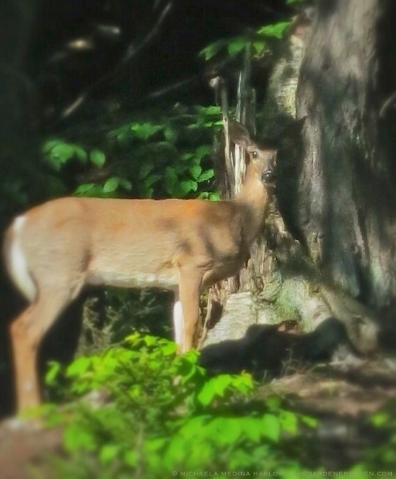 Doe at Forest's Edge - michaela medina harlow - thegardenerseden.com