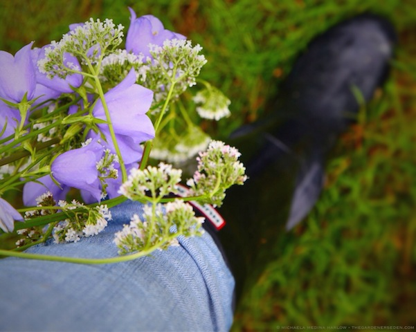 Gathering Bouquets - Campanula persicifolia and Valeriana officinalis - michaela medina harlow - thegardenerseden.com