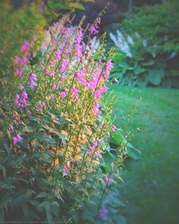 Ladybells (Adenephora confusa) - michaela medina harlow - thegardenerseden.com