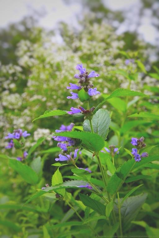 Nepeta sibirica 'Souvenir d'Andre Chaudron' - michaela medina harlow - thegardenerseden.com