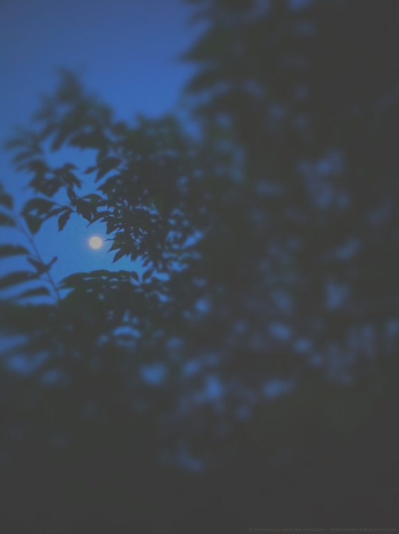 Thunder Moonrise through Halesia tetraptera - michaela medina harlow - thegardenerseden.com