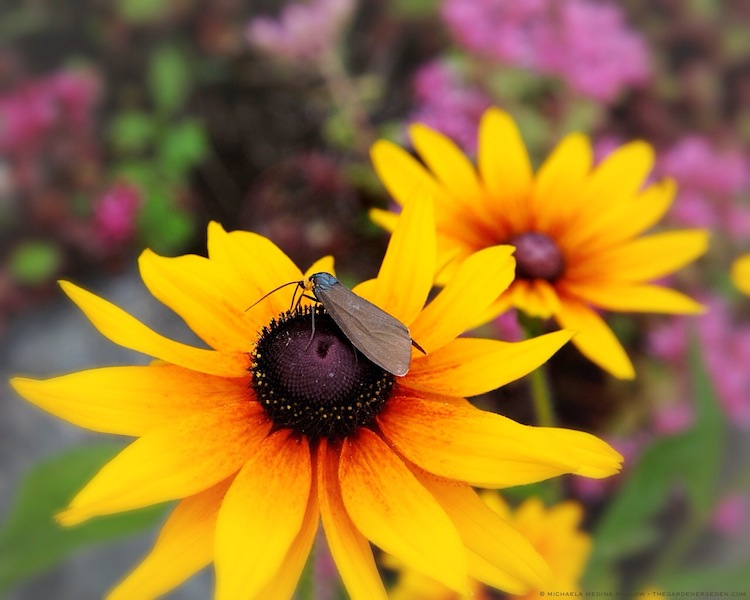 Virginia Ctenucha on Rudbeckia - michaela medina harlow - thegardenerseden.com
