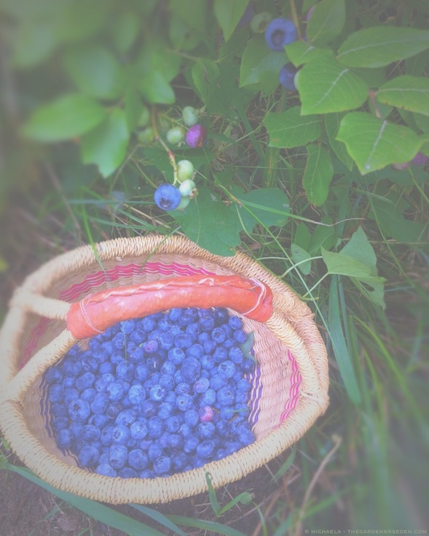 picking blueberries in the garden - michaela medina harlow - thegardenerseden.com