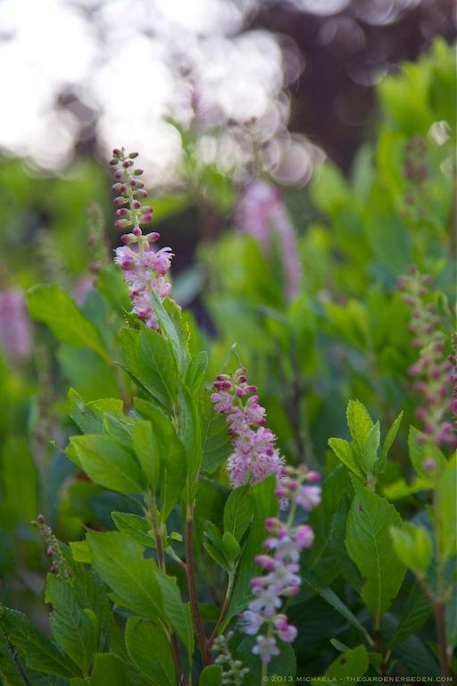 Clethra alnifolia 'Ruby Spice' - michaela medina harlow - thegardenerseden.com