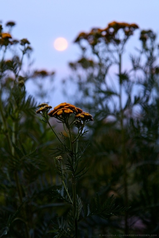 Common Tansy (Tanacetum vulgare) in the Moonlight - michaela medina harlow - thegardenerseden.com