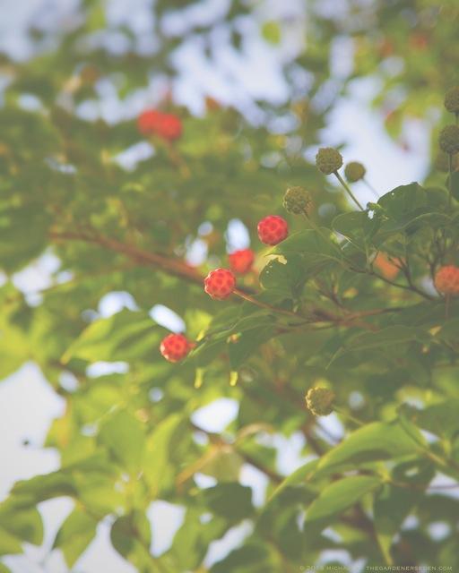 Cornus kousa Fruits Ripening - michaela medina harlow - thegardenerseden.com
