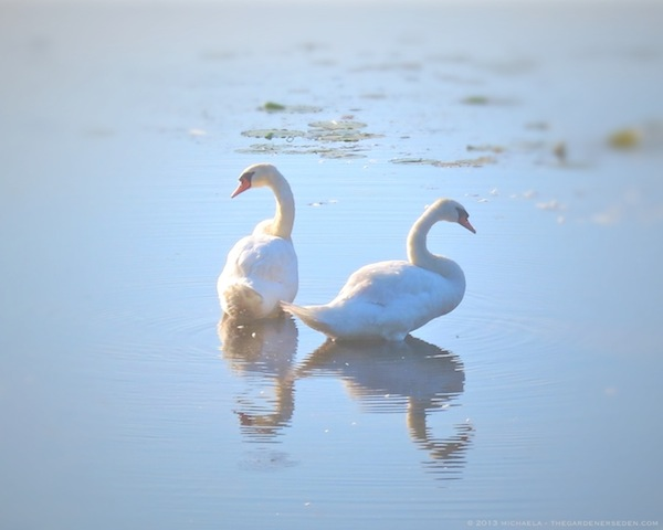 Looking Forward, Looking Back - Swans on the Cove - michaela medina harlow - thegardenerseden.com