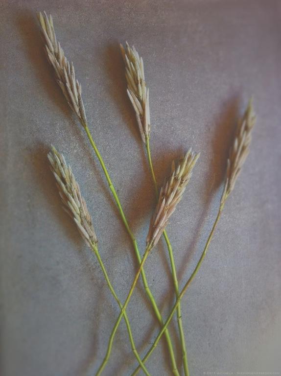 Thermopsis villosa - michaela medina harlow - thegardenerseden.com