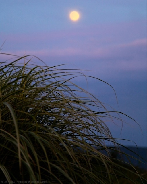 Variegated Maidengrass (Miscanthus sinensis 'Variegatus') in Moonlight - michaela medina harlow - thegardenerseden.com