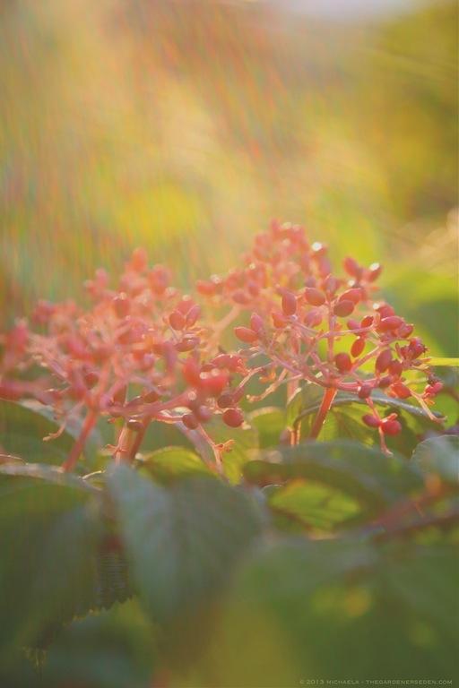 Viburnum plicatum var. tomentosum 'Shasta' Fruits in Sunshower - michaela medina harlow - thegardenerseden.com