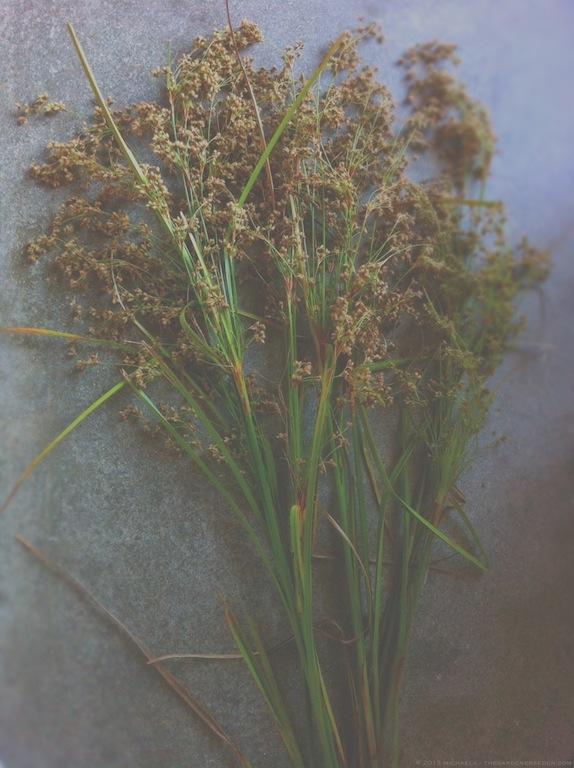 Wool Rush (Scirpus cyperinus) - michaela medina harlow - thegardenerseden.com