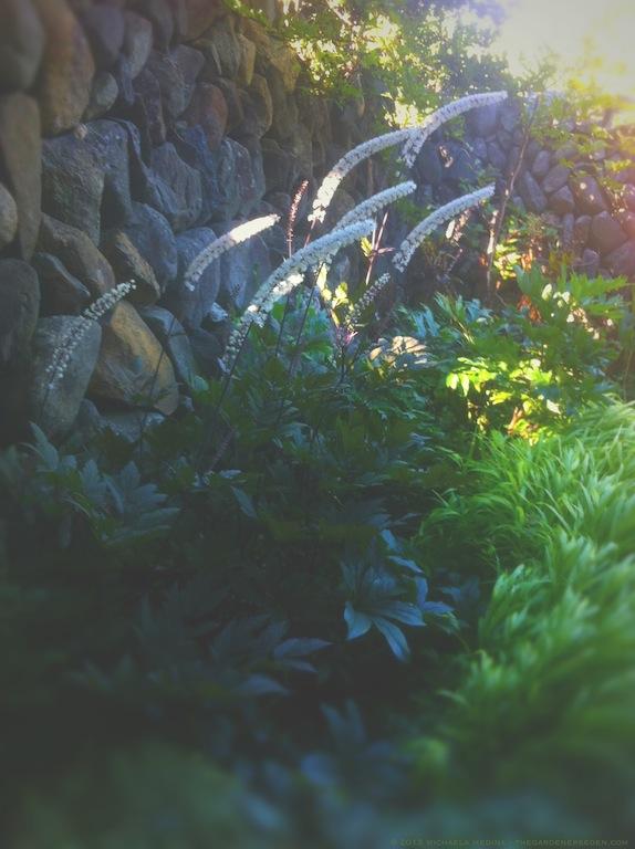 Actaea simplex 'Hillside Black Beauty' - michaela medina harlow - thegardenerseden.com