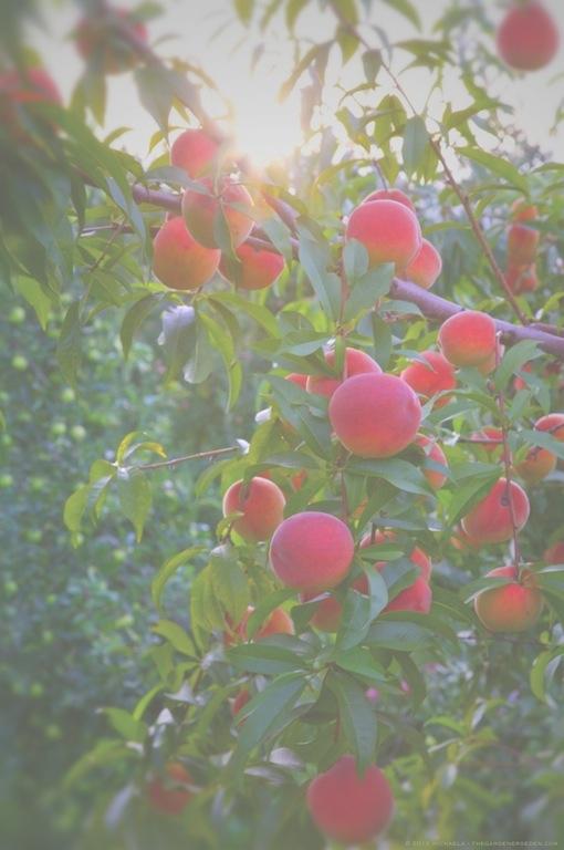 Gloria Peaches at Scott Farm Orchard - michaela medina harlow - thegardenerseden.com