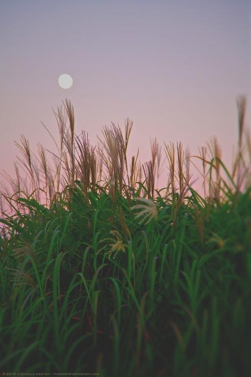 Harvest Moon - Michaela Medina Harlow - thegardenerseden.com