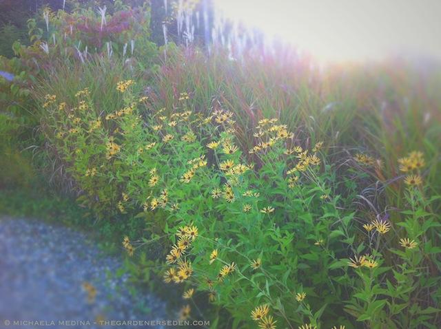Rudbeckia subtomentosa 'Henry Eilers' - michaela medina harlow - thegardenerseden.com