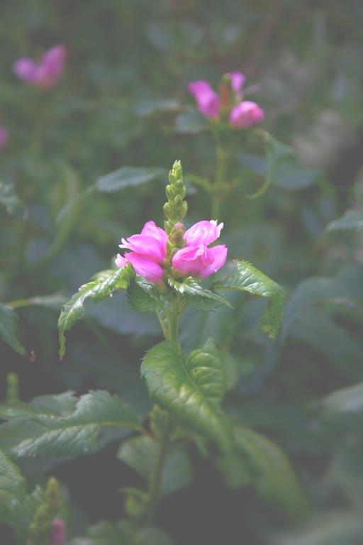 Turtlehead - Chelone lyonii 'Hot Lips' Blossom - michaela medina harlow - thegardenerseden.com