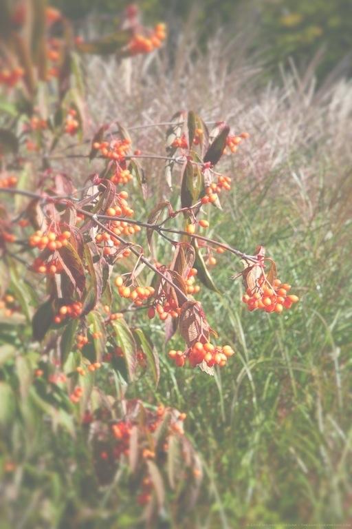 Tea Viburnum fruits (Viburnum setigerum) with Maiden Grass Tassels (Miscanthus sinensis) - michaela medina harlow - thegardenerseden.com