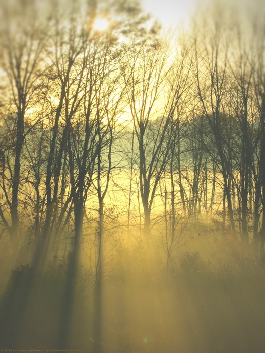 Through Golden Mist - michaela medina harlow - thegardenerseden.com