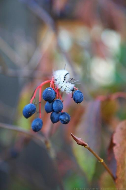 Viburnum lentago (Nannyberry Viburnum) and Lophocampa caryae (Hickory Tussock Moth) - michaela medina harlow - thegardenerseden.com