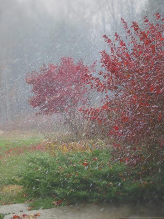 Autumn Leaves and Snow - michaela medina harlow - thegardenerseden.com