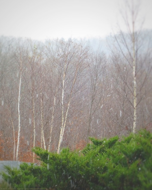 Birch Trees in Snow Squall - michaela medina harlow - thegardenerseden.com