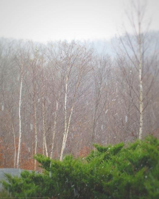 Birch Trees in Snow Squall - michaela medina harlow - thegardenerseden.com